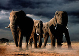 African Elephants Art Print Poster Photo