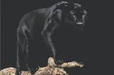 Black Panther (On Log) Art Poster Print Poster