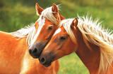 Horses (Blondes) Art Poster Print Poster