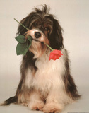 Dog with Rose in Mouth Poster