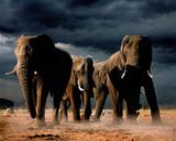 African Elephants Art Print Poster Print