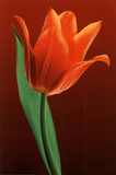 Tulip on Red (Close-Up) Art Poster Print Posters