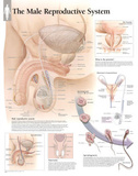Laminated Male Reproductive System Educational Chart Poster Print