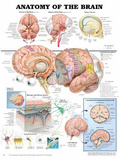 Anatomy of the Brain Anatomical Chart Poster Print Plakater