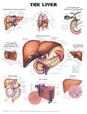 The Liver Anatomical Chart Poster Print Prints