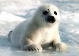 Harp Seal Pup Art Print Poster Prints