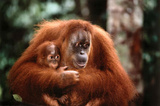 Laminated Orangutan with Baby Poster Posters