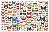 Laminated Butterflies of the World Educational Science Chart Poster Kunstdrucke