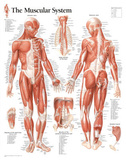 Laminated Muscular System Male Educational Chart Poster Pôsters