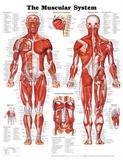 The Muscular System Anatomical Chart Poster Print - Afiş