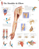 Laminated Understanding the Shoulder and Elbow Educational Chart Poster Posters