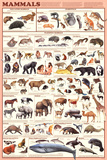 Laminated Mammals Educational Animal Chart Poster Pôsters