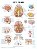 The Brain Anatomical Chart Poster Print Kunstdrucke