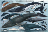 Laminated Whales And Dolphins Educational Poster Photo