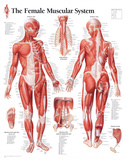 Muscular System Female Educational Chart Poster - Poster