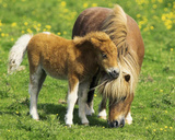 Two Ponies (Horses In Field) Art Poster Print Kunstdrucke
