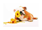 Good Morning Bulldog wtih Flower Art Print Poster Poster