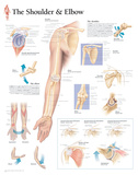 Understanding the Shoulder and Elbow Educational Chart Poster Print