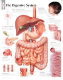 Laminated Digestive System Educational Chart Poster Print