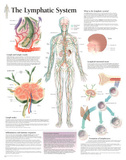 Laminated The Lymphatic System Educational Chart Poster Prints