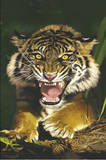 Sumatra Tiger (Growling Tiger) Art Poster Print Prints