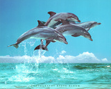 Steve Bloom (Four Dolphins) Art Poster Print Print