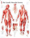 Laminated Muscular System Female Educational Chart Poster Posters