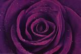 Purple Rose Close-Up Art Print Poster Kunstdruck