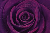 Purple Rose Close-Up Art Print Poster - Reprodüksiyon
