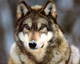 Grey Wolf (In Snow) Art Poster Print Photo