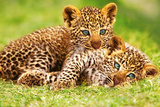 Cheetah Cubs in Grass Art Print Poster - Reprodüksiyon