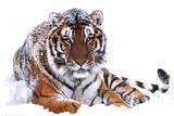 Siberian Tiger (In Snow) Art Poster Print Plakaty