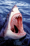Great White Shark Art Photo Poster Print Posters
