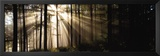 Sunlight Streaming Through Forest Prints by Irving Underhill
