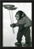 Chimp Monkey Spinning Plate Archival Photo Poster Print Posters