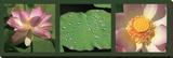 Fleurs de lotus Reproduction sur toile tendue par Laurent Pinsard