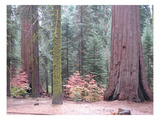 Sequoia Trees Print by  NaxArt