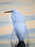 A Great White Egret, Ardea Alba, in a Lake at Sunset Photographic Print by Robbie George
