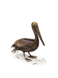 A Heavily-Oiled Brown Pelican at the Rehab Center at Fort Jackson Photographic Print by Joel Sartore