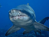 A Sand Tiger Shark Off the Bonin Islands Will Soon Give Birth Photographic Print by Brian J. Skerry