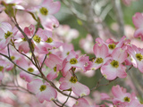 A Profusion of Pink Dogwood Blossoms Photographic Print by Amy & Al White & Petteway