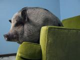 A Miniature Vietnamese Potbellied Pig Living As a Pet Photographic Print by Vincent J. Musi