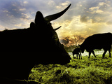 Silhouetted Cattle Grazing at Twilight, Photographic Print by Amy & Al White & Petteway