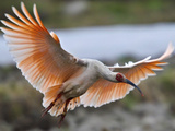 A Crested Ibis, Nipponia Nippon, Coming in for Landing Photographic Print by Jed Weingarten/National Geographic My Shot