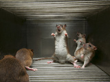 A Brown Rat&#39;s Angry Display Reflects Breeding for Hostility to Humans Photographic Print by Vincent J. Musi