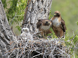 A Red-Tailed Hawk Family, Buteo Jamaicensis, Together in their Nest Photographic Print by Robbie George