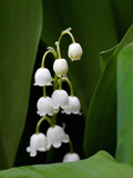 Close Up of Delicate Lily of the Valley Flowers Fotografie-Druck von Amy & Al White & Petteway