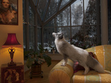 A Domesticated Fox Living As a Pet in a Wealthy Home Photographic Print by Vincent J. Musi