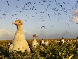 Frigatebird Chicks Await Circling Adults on Rawaki Island Papier Photo par Brian J. Skerry