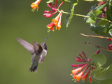 A Hummingbird Sipping Nectar from Honeysuckle Flowers Photographie par Robbie George